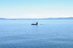 Orcinus orca/killer wale in nordic waters